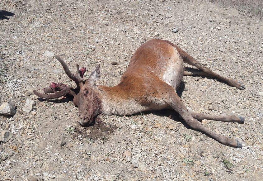 Cazadores furtivos matan ciervo en Junín este fin de semana.